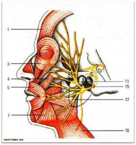 Веточки лицевого нерва