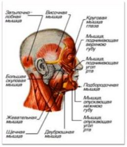 Ветви лицевого нерва снаружи черепа