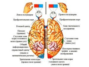Зоны коры головного мозга