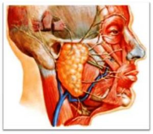 Анатомия лицевого нерва