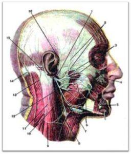 Ход лицевого нерва